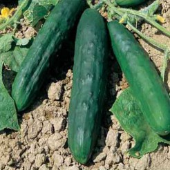 Cucumber Marketmore 70