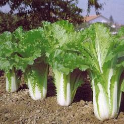 Chinese cabbage Michihili