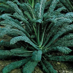 Palm cabbage Nero di Toscana