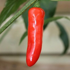 Hot pepper Pepperoncini