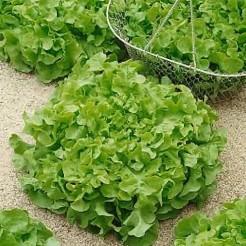 Picking lettuce Salad Bowl Green
