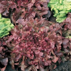 Picking lettuce Salad Bowl Red