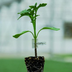 Rootstock Tomato Protector