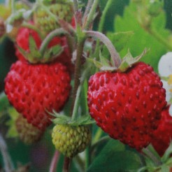 Alpine Strawberry Regina