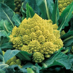 Cauliflower Romanesco Natalino