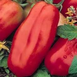 Plum tomato San Marzano 2