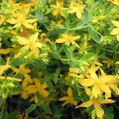 Sint Janskruid plant