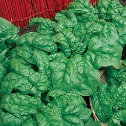 Spinach America