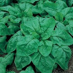 Spinach Winter Giant