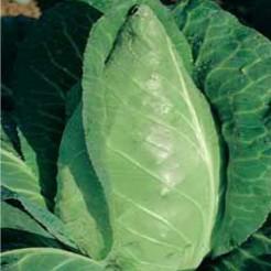 Oxheart Cabbage Eersteling