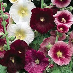 Hollyhock Indian Spring mixed