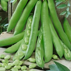 Broad Bean Superaquadulce