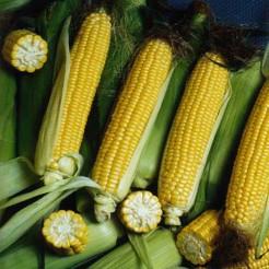 Sweet Corn Sweet Nugget F1