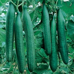 Cucumber Telegraph