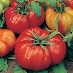 Beefsteak tomato Costoluto Fiorentino