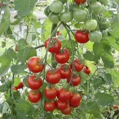 Cherrytomaat Zuckertraube-type