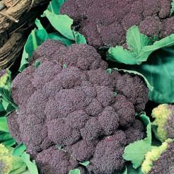Cauliflower Violetto Di Sicilia