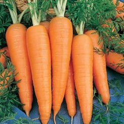 Carrot Saint Valery
