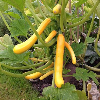 Climbing courgette Shooting Star F1