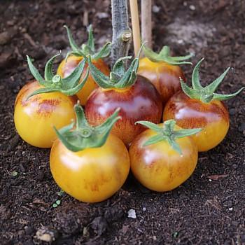 Tomato Bosque Bumblebee